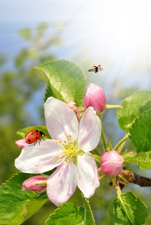Beautiful spring blossoming apple tree with the ladybug photo
