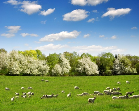 sheeps: Spring landscape with the herd of sheeps