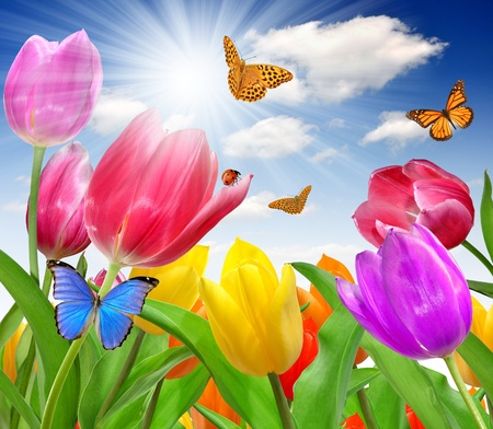 morpho: Tulip with butterfly Stock Photo