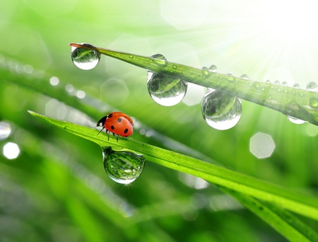 fresh morning dew and ladybird  Stockfoto