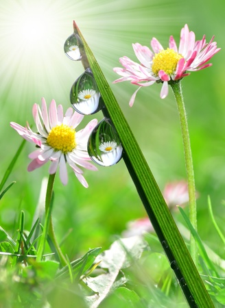 formal garden: Fresh grass with dew drops in the background of the daisies