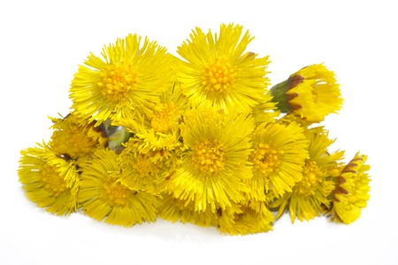 Coltsfoot  Tussilago farfara photo