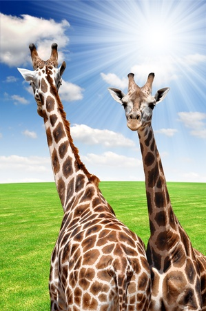 two giraffes  Stock Photo - 13076528