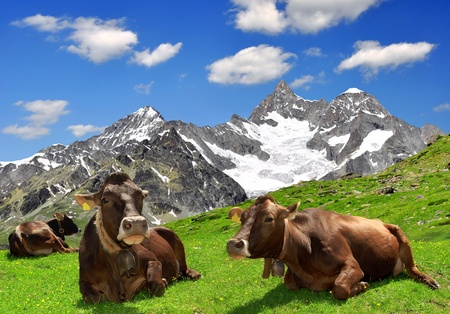 european alps: Cow lying in the meadow In the background of the Ober Gabelhorn -Swiss Alps  Stock Photo