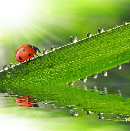 undulation: fresh morning dew and ladybird  Stock Photo