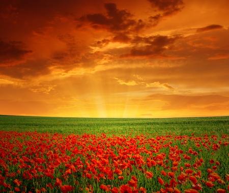 opium poppy: red poppy field in the sunset Stock Photo