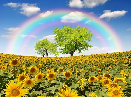 rainbow above the  sunflower field Stock Photo - 13114804