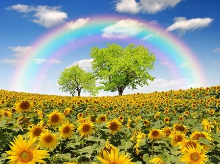 regenboog boven het zonnebloem veld