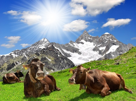 traditional climbing: Cow lying in the meadow In the background of the Ober Gabelhorn -Swiss Alps  Stock Photo