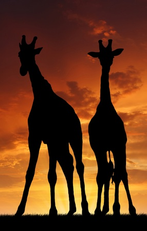 Two giraffes in sunset  photo