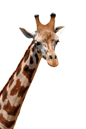 giraffe white background: Jirafa aislada Foto de archivo