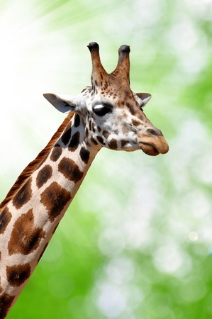 giraffes on natural green background  photo