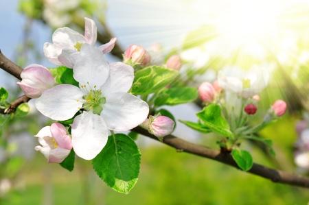 apple blossom: Spring blossoms Stock Photo