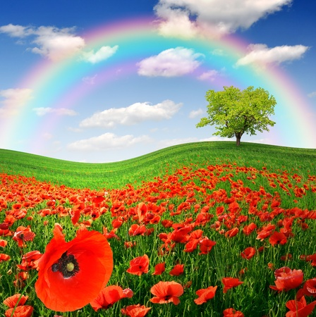 opium poppy: rainbow above the spring landscape with red poppy