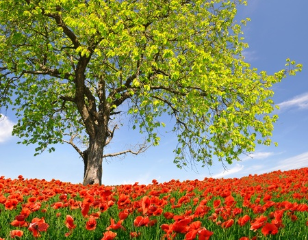 Lente landschap met rode papaver Stockfoto