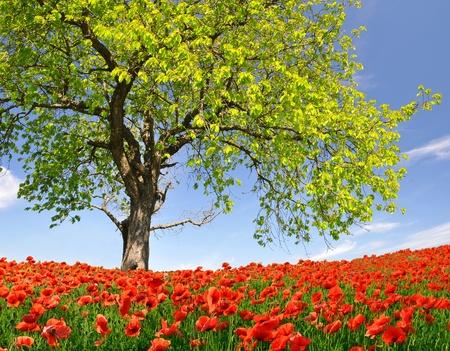 field of corn poppy flowers: Spring landscape with red poppy