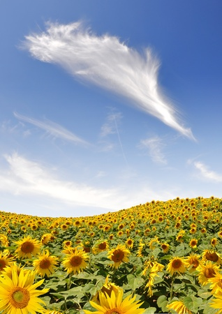 blue sky with clouds over the sunflower field Stock Photo - 13294727