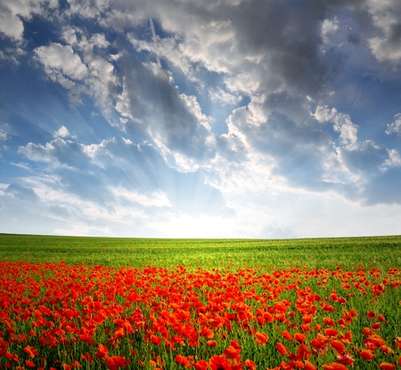 field of flowers: red poppy field