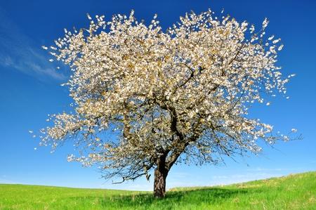 arbol de cerezo: Árbol en flor de cerezo en el Parque Nacional de Sumava - República Checa