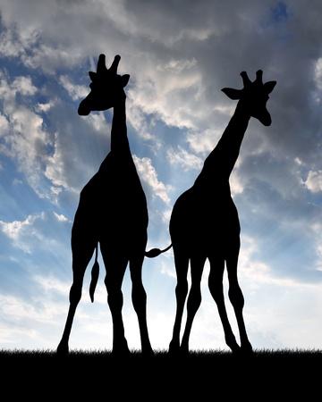 giraffe silhouette: Two giraffes in sunset