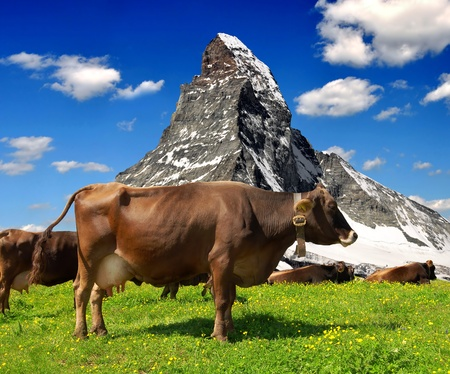 Cow in the meadow In the background of the Matterhorn-Swiss Alps  Stock Photo - 13531144