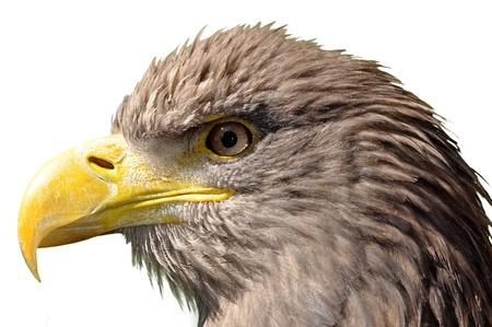 rapacity: sea eagle