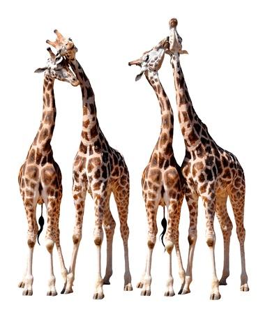 loving Giraffes isolated Stock Photo - 13531102