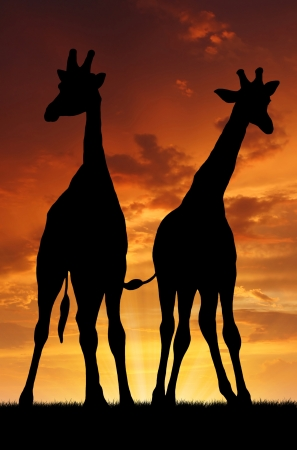 kenya: Two giraffes in sunset