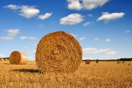 hay bales: big round bales of straw in the field