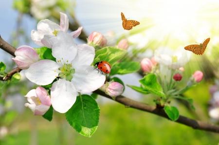 mariquitas: Bella y floreciente primavera de manzano con la mariquita y la mariposa