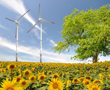sunflower field with wind turbine against the blue sky  photo