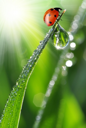 waterdrop: fresh morning dew and ladybird