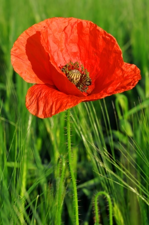 opium poppy: red poppy