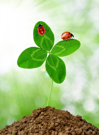 quarterfoil: growing green clover with the ladybirds  Stock Photo
