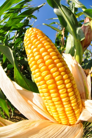 planta de maiz: Campo de maíz