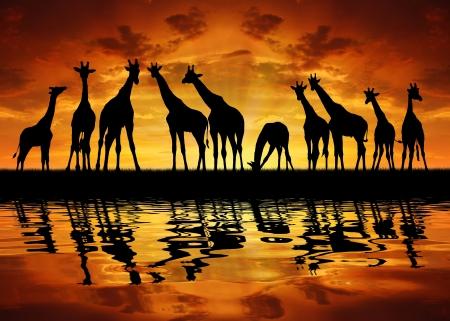 herd of giraffes in the sunset  photo