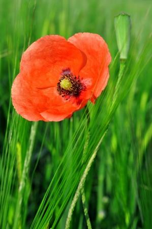 corn flower: red poppy in wheat field   Stock Photo
