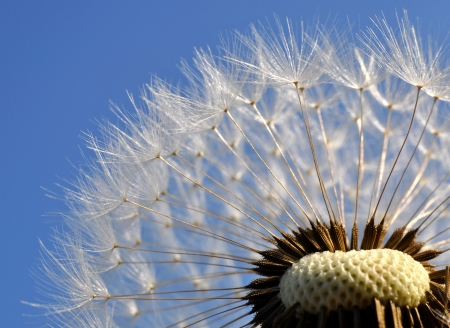 spring time: Close-up of dandelion seed