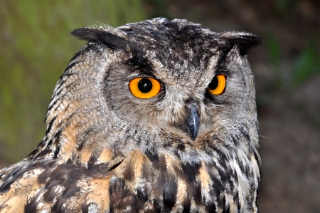 Portrait of The Eurasian Eagle Owl  Bubo bubo    photo