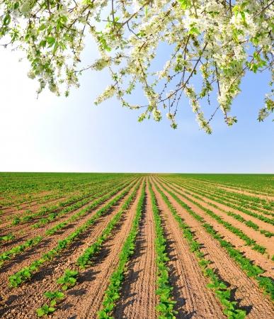 freshly: freshly sown sunflower field  Stock Photo