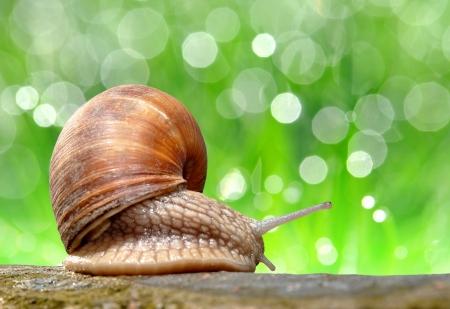 gastropod: Garden snail  Helix aspersa   Stock Photo