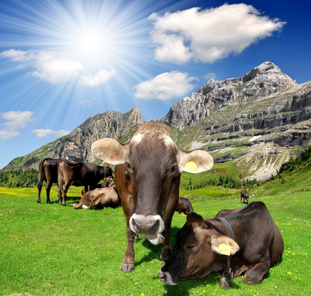 cows in the meadow - Brenta, Dolomites Italy  photo