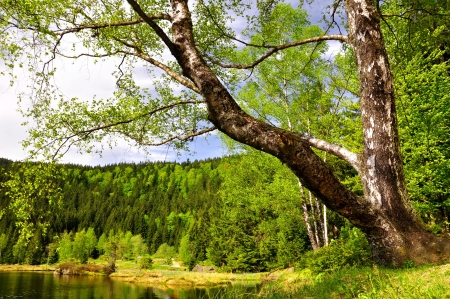 Birch at the Small Arber Lake in National Park Bavarian Forest - Germany