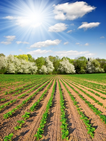freshly sown sunflower field photo
