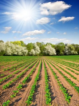 freshly sown sunflower field