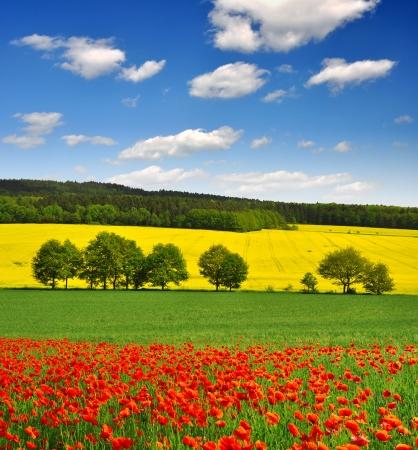 field of corn poppy flowers: red poppy field  Stock Photo