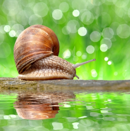 hermaphrodite: Garden snail  Helix aspersa  Stock Photo