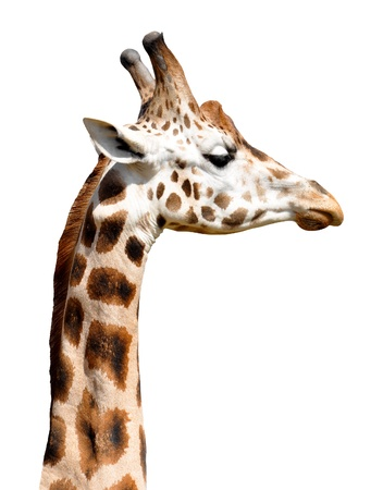 Giraffe isolated photo