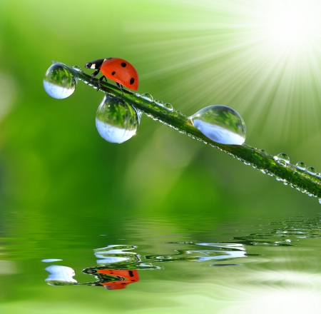 sunshine insect: fresh morning dew and ladybird  Stock Photo