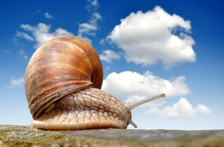 Garden snail  Helix aspersa   Stock Photo